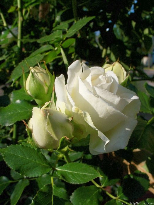 'White Eden ™' rose photo