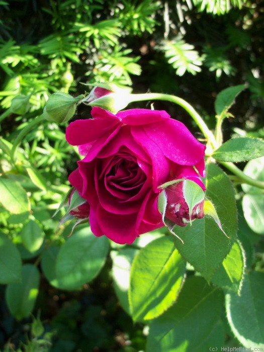'William Shakespeare 2000 ™' rose photo