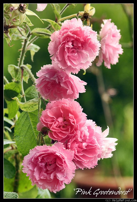 'Pink Grootendorst' rose photo