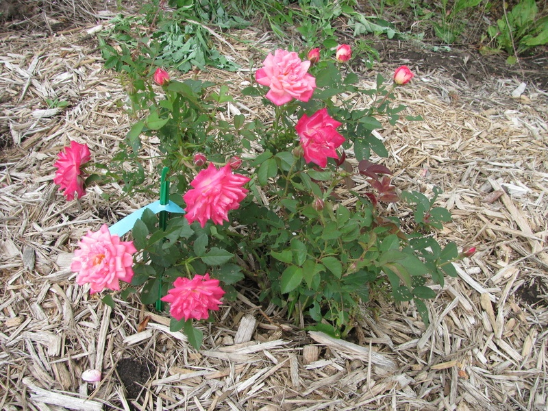 'Peppermint Pop' rose photo