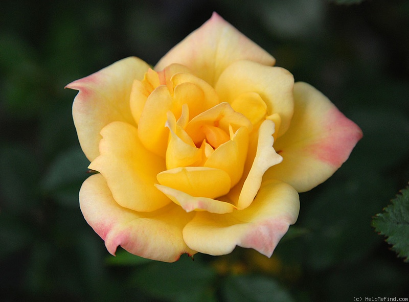 'Yellow Magic (miniature, Moore 1970)' rose photo