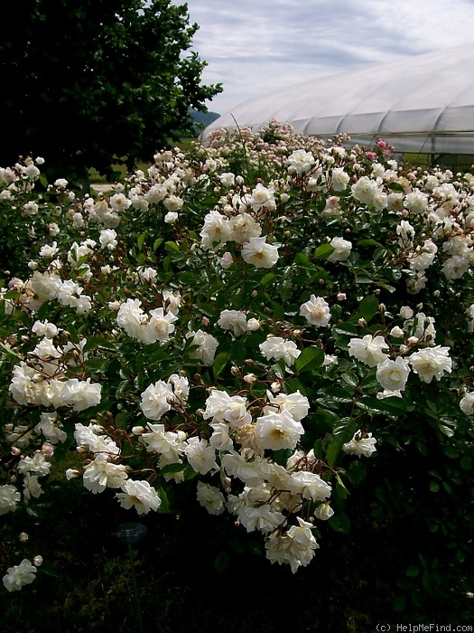 'Pax (Hybrid Musk, Pemberton, 1918)' rose photo