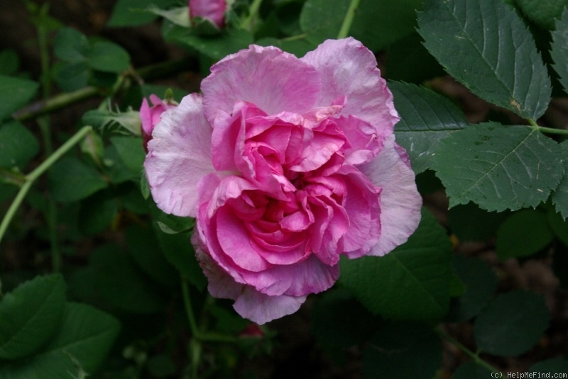 'Agatha (gallica, before 1815)' rose photo