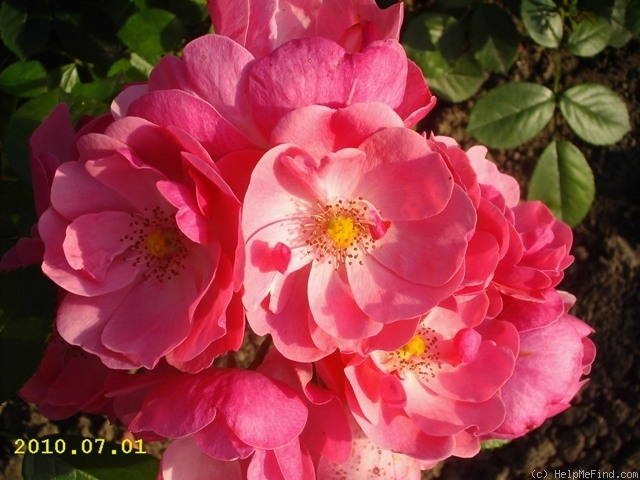 'Angela ® (floribunda, Kordes, 1984)' rose photo