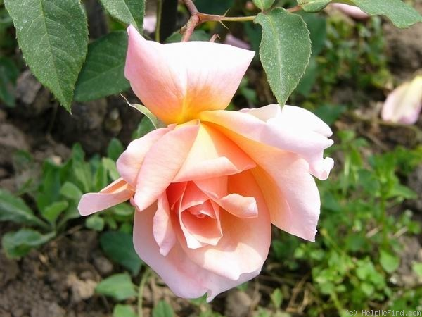 'Orange Festival (hybrid tea, Leenders, 1961)' rose photo