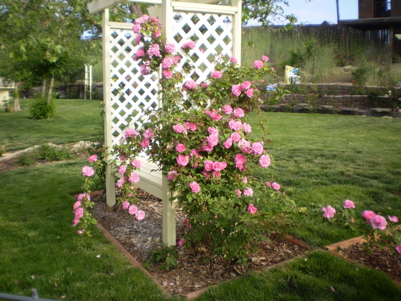 'Bev's Roses take over the lawn'  photo