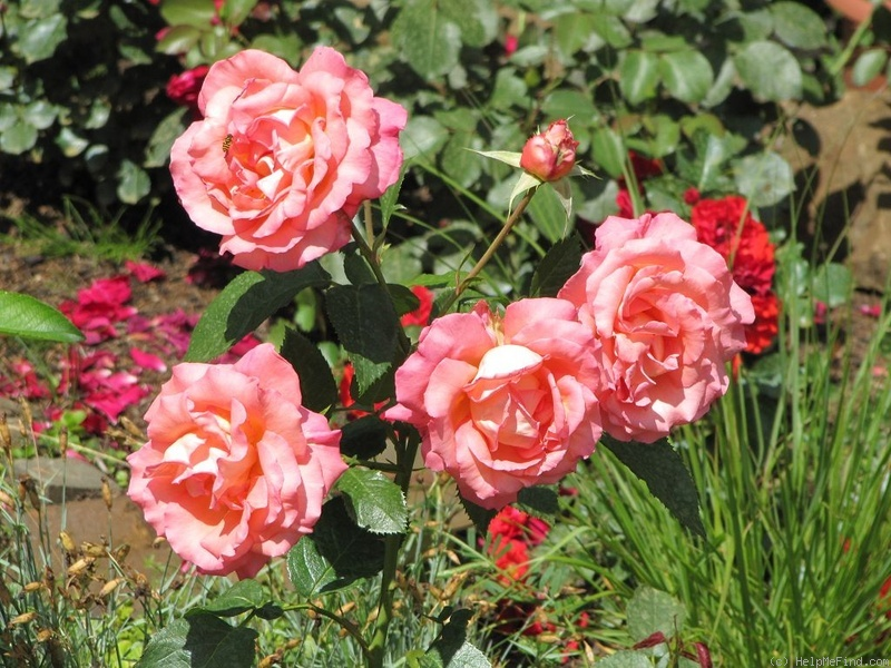 'Die Welt ® (hybrid tea, Kordes 1976)' rose photo