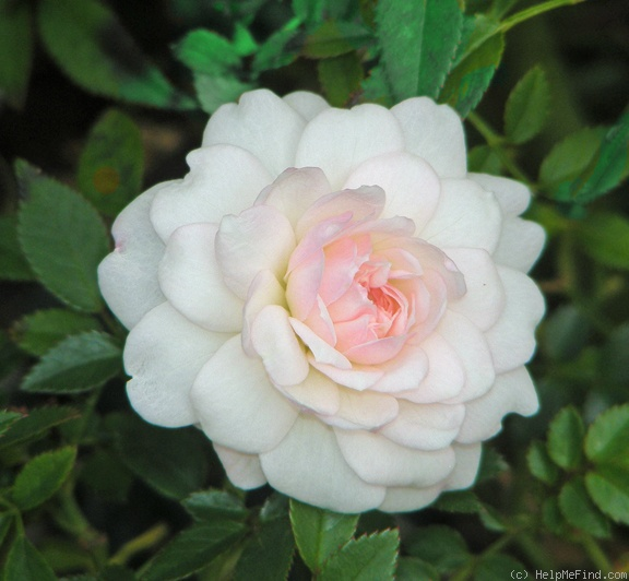 'Cinderella (miniature, de Vink 1953)' rose photo