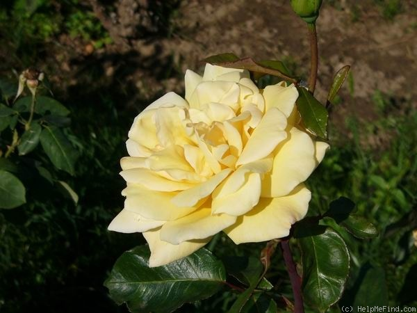 'Town Crier' rose photo