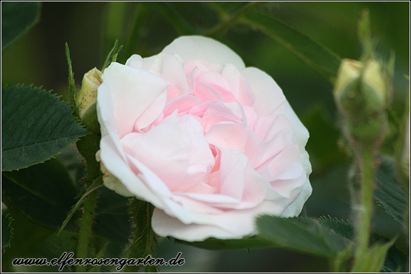 'Alba Maiden's Blush' rose photo