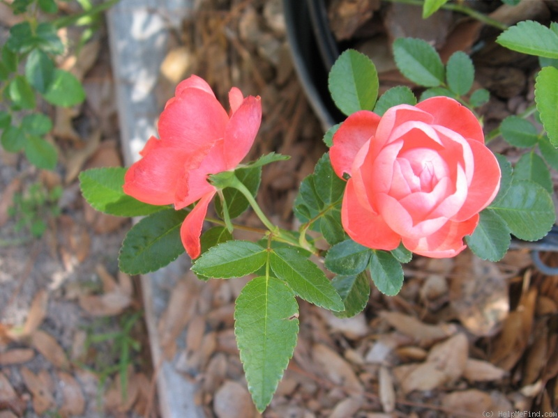 'Margo Koster, Cl.' rose photo