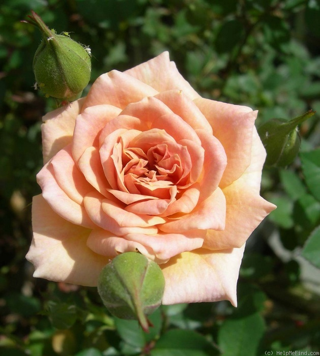 'Nancy Hall' rose photo