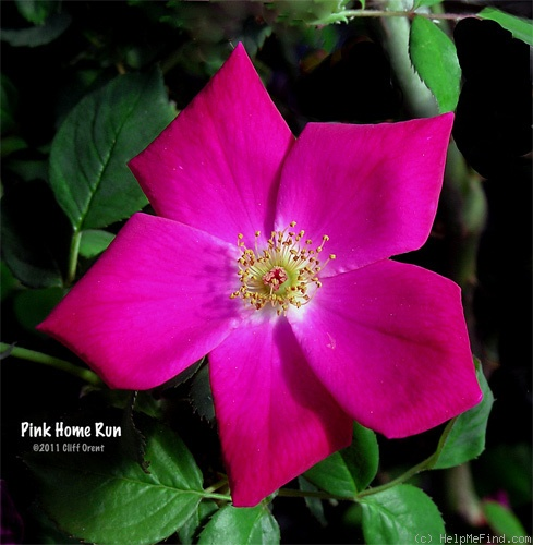 'Pink Home Run' rose photo