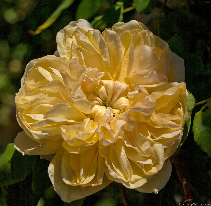 'Jaune Desprez' rose photo