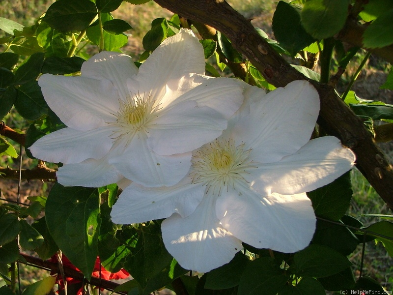 'Mme. Le Coultre' clematis photo
