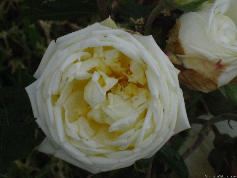 'Sea Foam (Bracteata, Paul, 1919)' rose photo