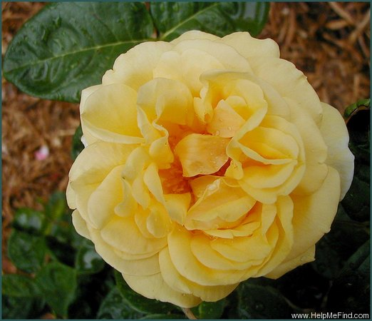'Michelangelo ® (hybrid tea, Meilland before 1997)' rose photo