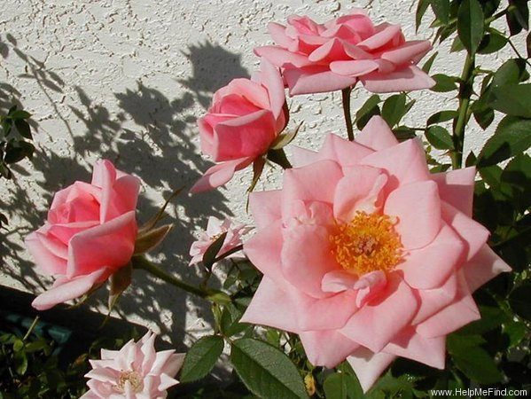 'Ultimate Pleasure' rose photo