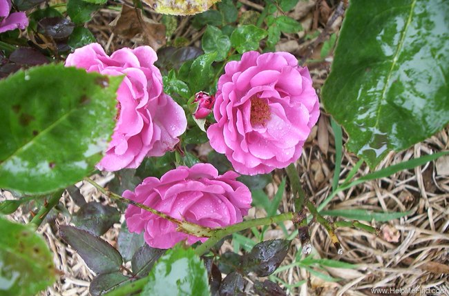 'Love Potion ™' rose photo