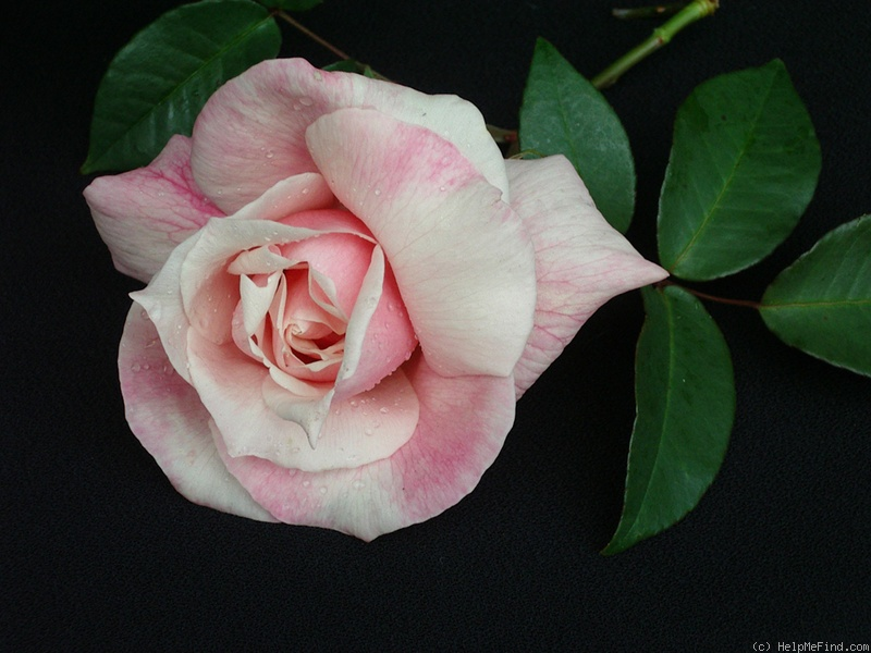 'Courier' rose photo