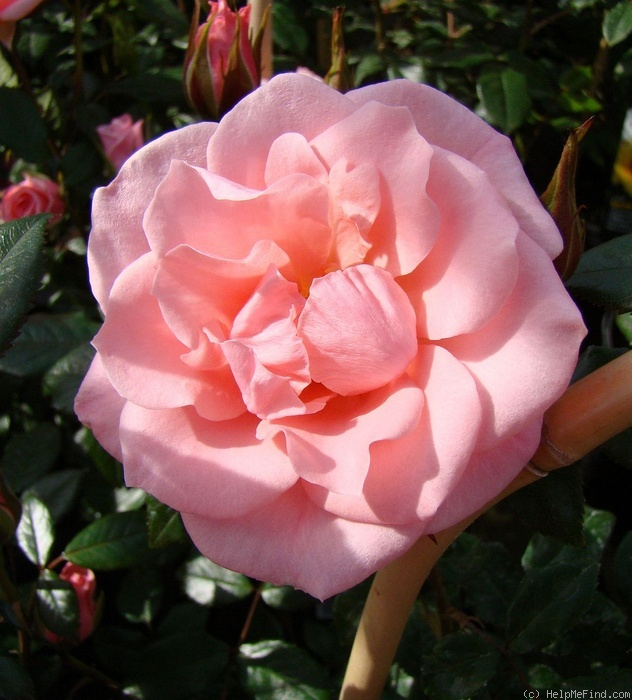 'Star Performer' rose photo