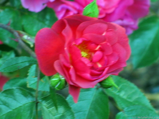 'Dragon's Blood' rose photo