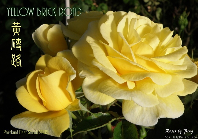 'Yellow Brick Road' rose photo