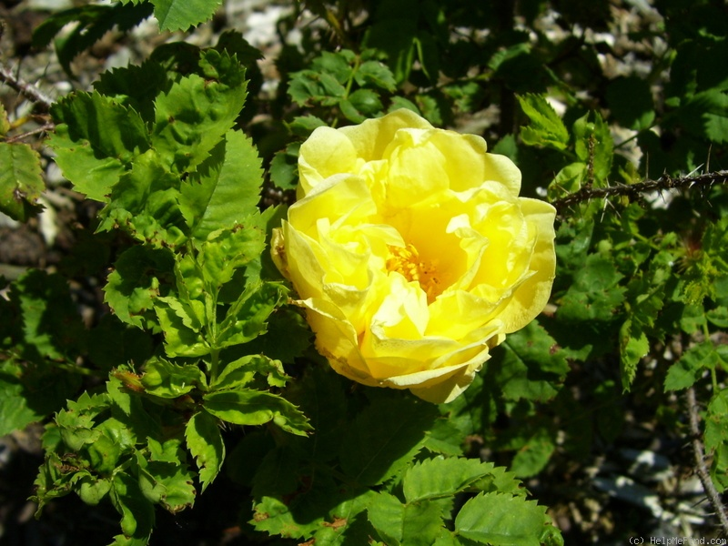 'Hazeldean' rose photo