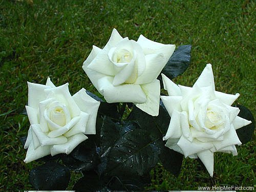 'Canadian White Star ®' rose photo