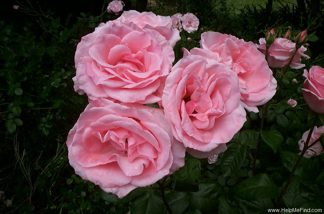 'Queen Elizabeth (Hybrid Tea, Lammerts, 1954)' rose photo