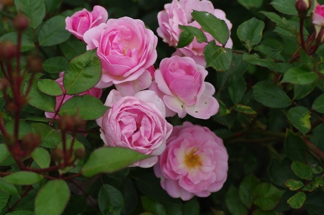 'Mrs. R.M. Finch' rose photo