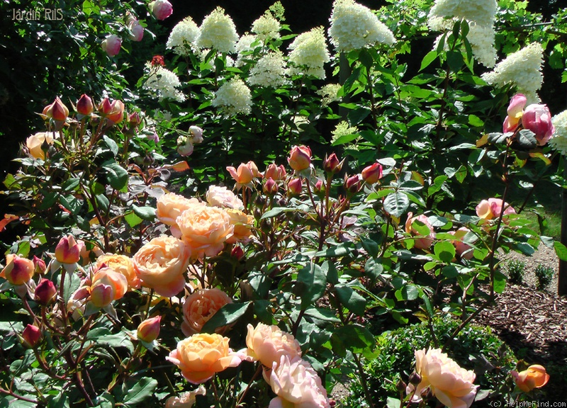 'Lady Emma Hamilton' rose photo