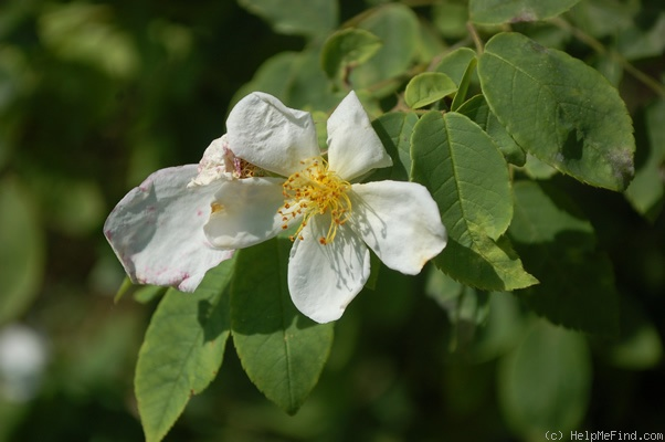 'R. moschata' rose photo