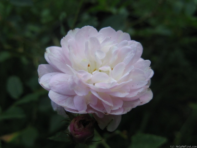 'Hera's Song' rose photo