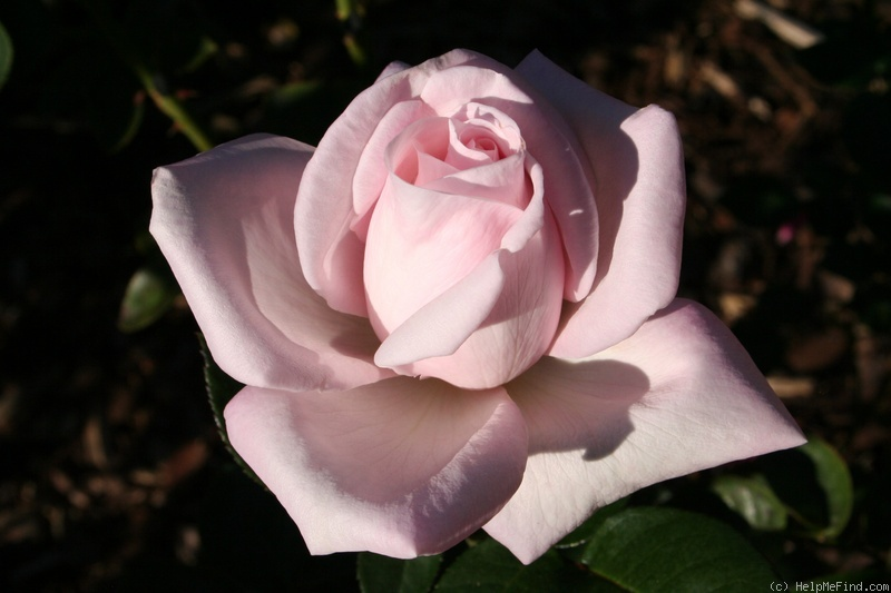'Royal Highness' rose photo