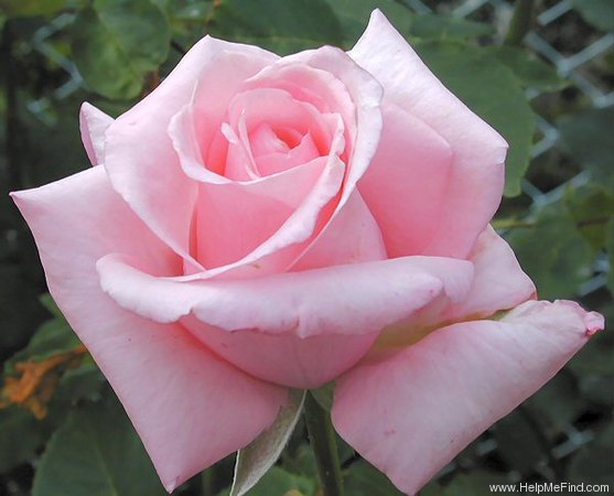 'Shunpo' rose photo