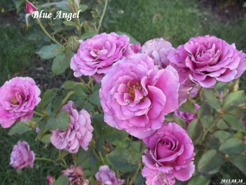 'Blue Angel' rose photo