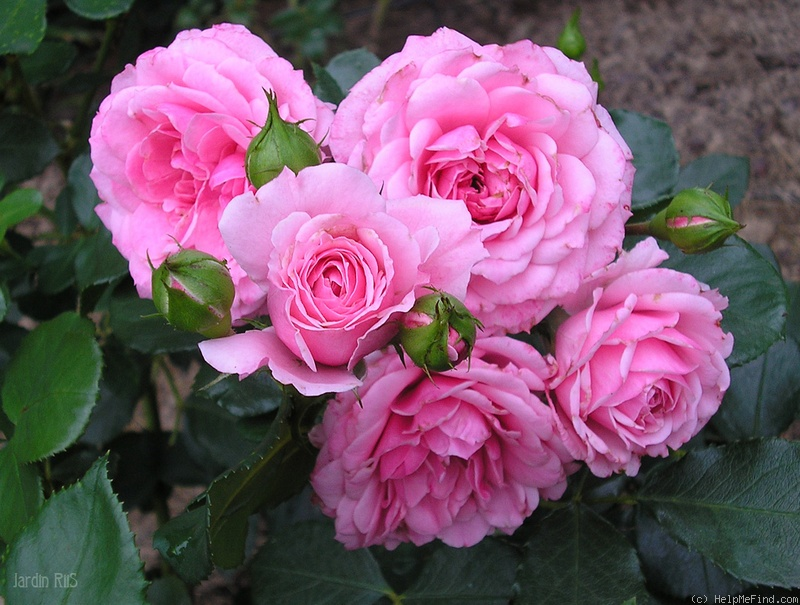 'Royal Bonica' rose photo