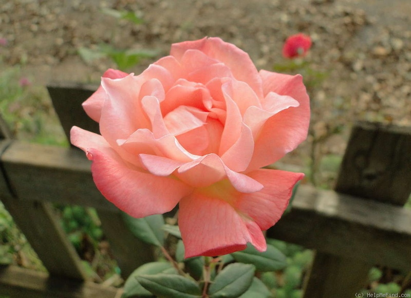 'Spirit of Glasnost' rose photo