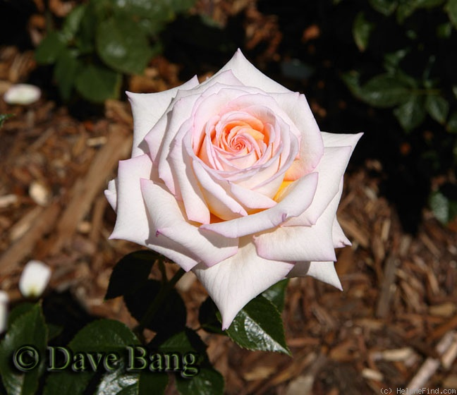 'Twinkle Little Star' rose photo