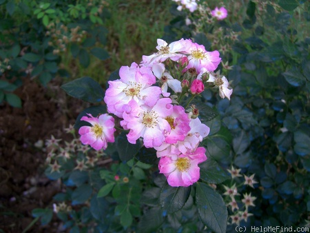 'Ausonius' rose photo