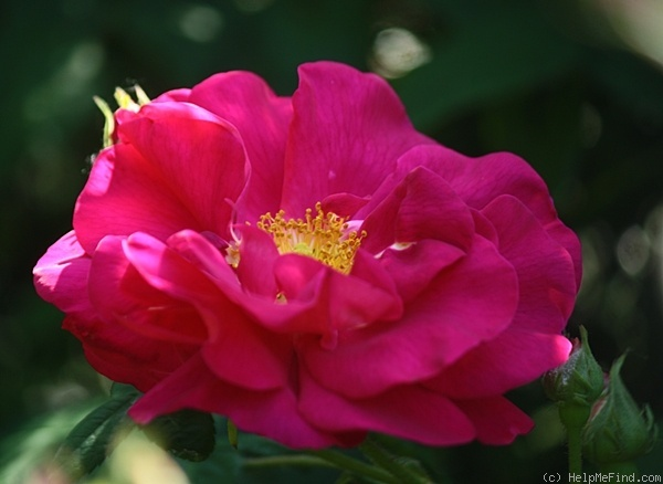 'Officinalis' rose photo