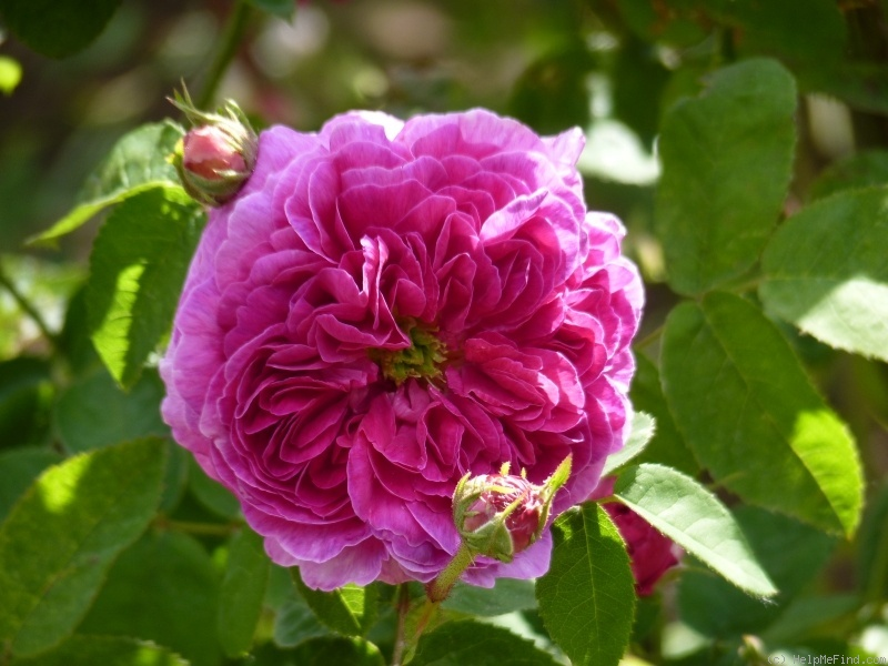 'Manteau Pourpre' rose photo