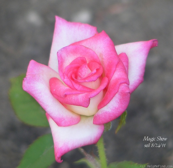 'Magic Show' rose photo