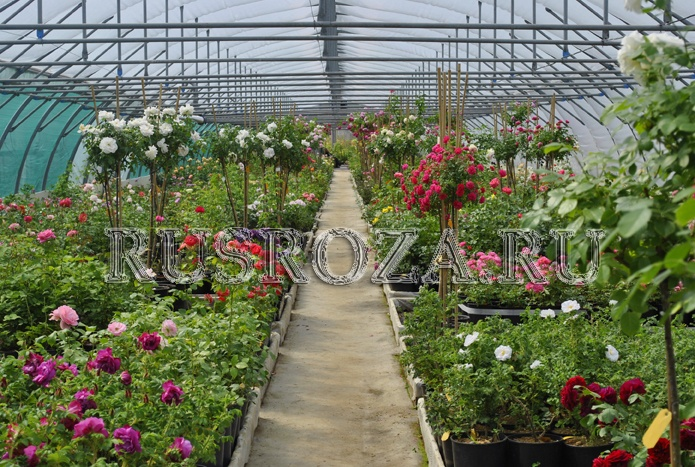 'RUSROZA, Nursery of  Roses'  photo