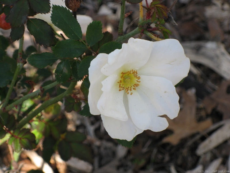 'Rosa White Out ™' rose photo