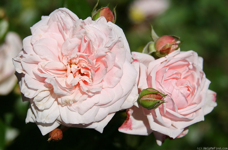 'Awakening (Large Flowered Climber, discovered by Jan Bohm, 1935)' rose photo
