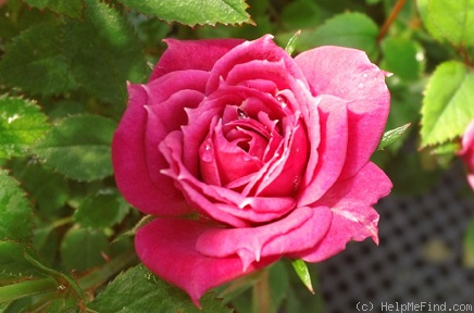 'Live Wire ™' rose photo