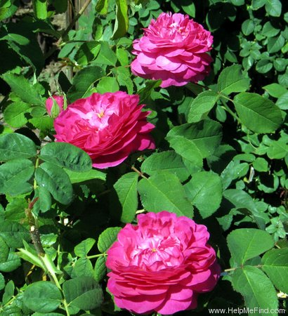 'Rose du Roi (portland, Lelieur, 1812)' rose photo