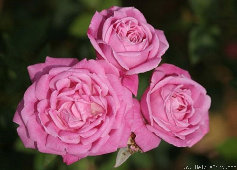 'Old Blush' rose photo